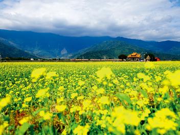 冬日彩繪 油菜花海,暢遊花東縱谷的金黃廊道