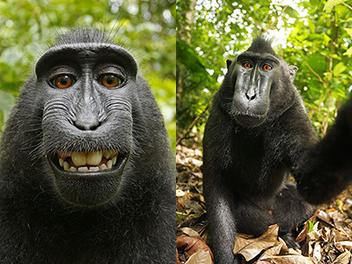猴子自拍 版權 歸誰? 攝影師主張權利但 維基 拒絕撤照
