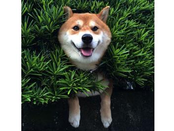 看到柴犬卡樹叢的超萌畫面,到底該先拍照還是趕快救牠!?