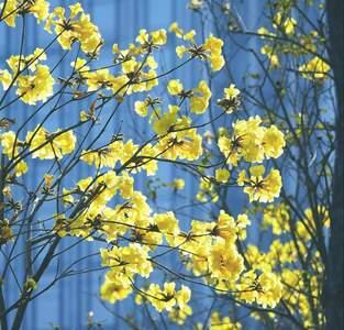 黃花飄來春